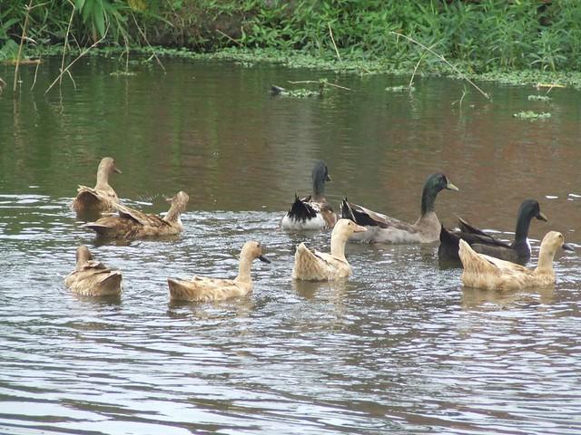 Ducks are mostly aquatic birds