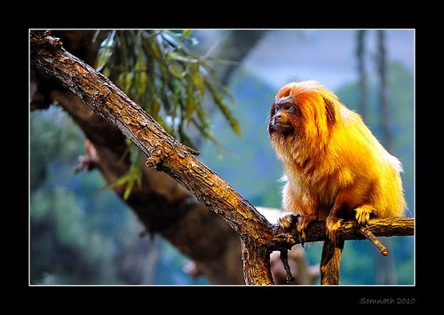 Golden Marmoset (Leontopithecus rosalia) by Somnath Mukherjee Photoghaphy