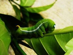 Caterpillar, unknown