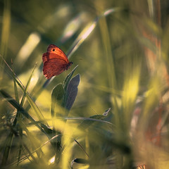 Red Butterfly, unknown