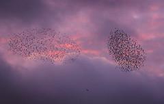 starlings being hunted!