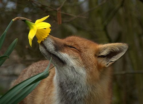 Fox and Daffodil