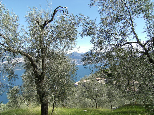 olivi, campo, lago