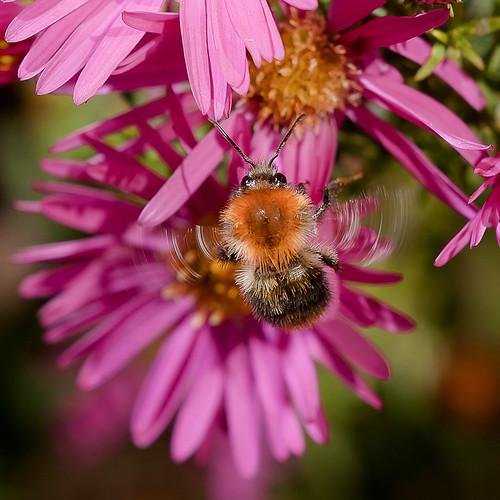 hyménoptère Apidae (Bombus)