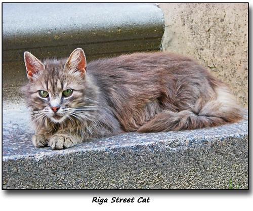 Riga Street Cat