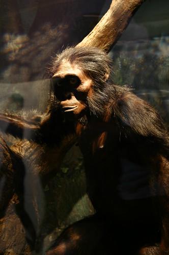 Australopithecus afarensis,