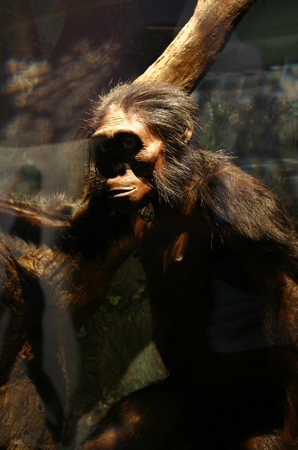 Australopithecus Afarensis Quot Lucy Quot Flickr Photo Sharing
