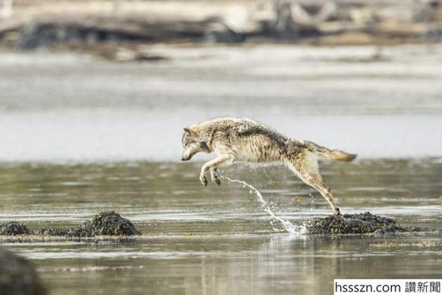 swimming-sea-wolves-pacific-coast-canada-ian-mcallister-11_700_467
