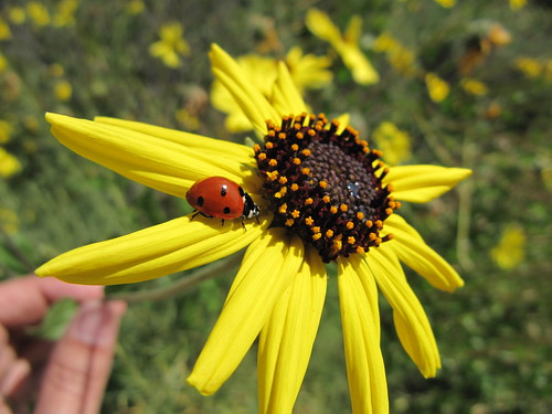 ladybug: creative commons license