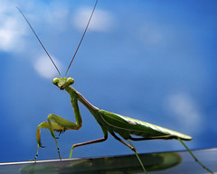 Mantis, unknown