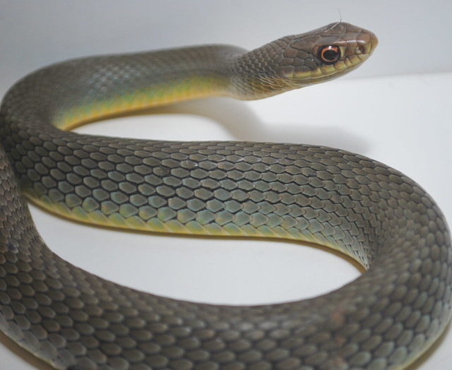 S Is For SNAKE EASTERN YELLOW BELLY RACER Coluber