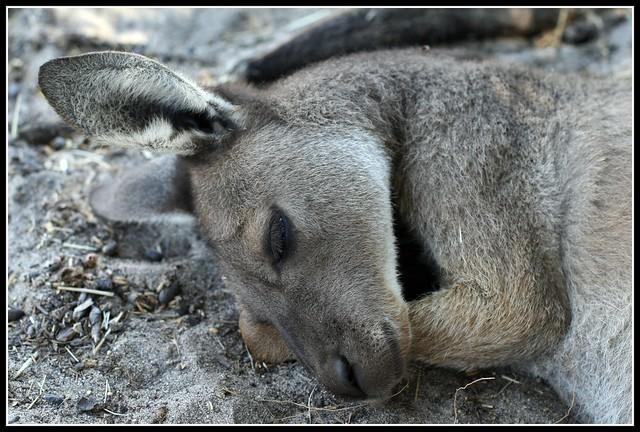 Sleeping Kangaroo