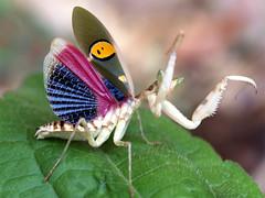 Blue Wing Mantis (Creobroter germmata), unknown