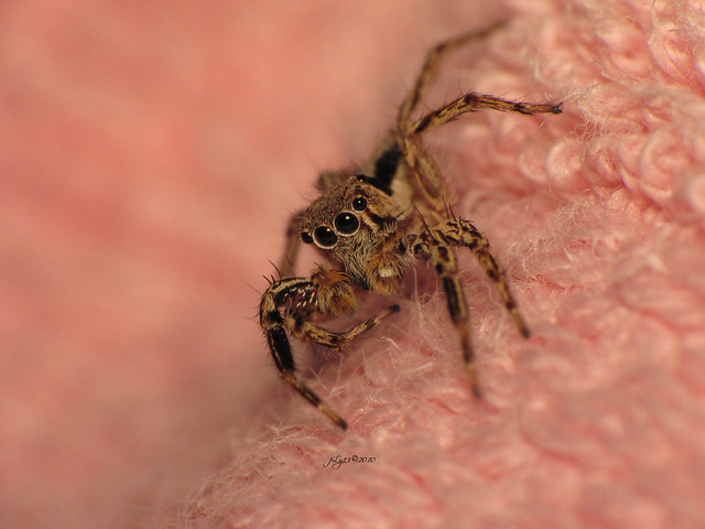 Jumping spider on a pink towel in color