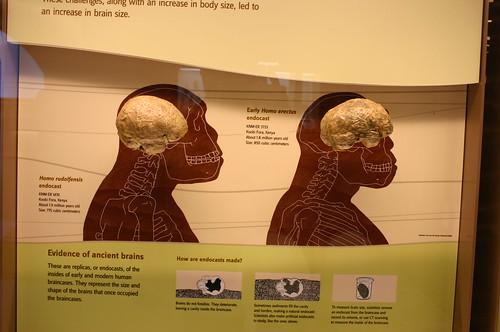 Homo rudolfensis and Homo erectus cranial endocast