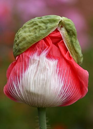 Papaver 'Queen's Poppy'