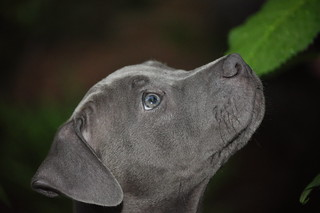 Blue Nose Pit Bull