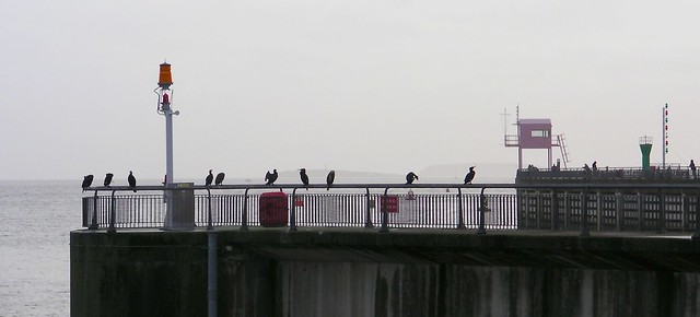 Cardiff Bay-Cormorans