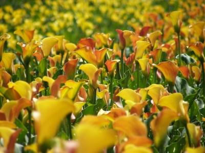calla lily on oregon farm