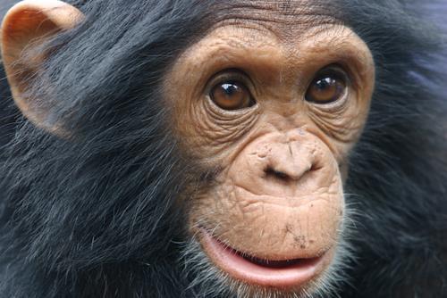 Jeune chimpanzé mâle en captivité, Goma, 2005