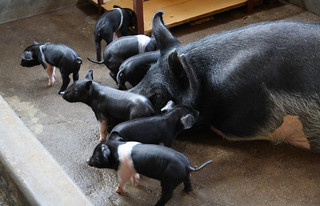 Pigs at the Drestry Farm Industry commercial pig farm.