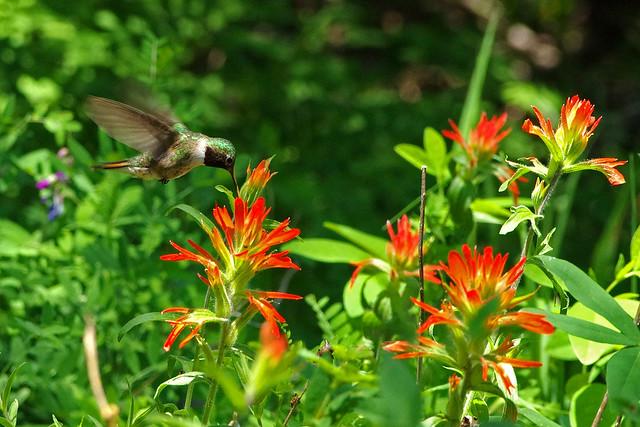 Broad-tailed Hummingbird (Selasphorus platycercus) male and Scarlet Paintbrush (Castilleja miniata). Sandia Mountains, New Mexico, USA.
