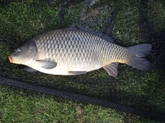 Common carp, Cyprinus carpio, fully scaled variety