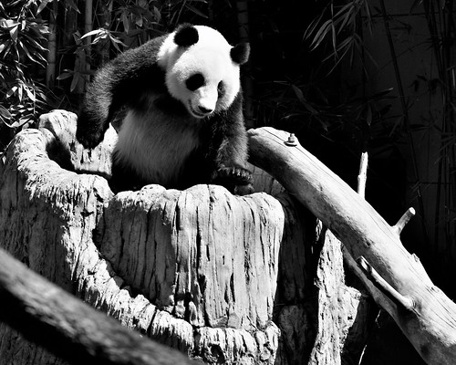 The panda Su Lin at the San Diego Zoo photographed by Barry Wallis.