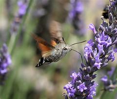 Hummingbird Hawk Moth, by IronChris @ Wikipedia