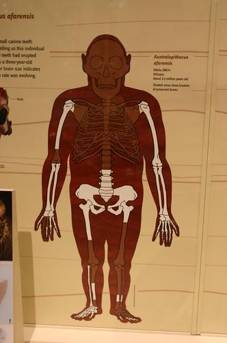 Three-year-old Australopithecus afarensis