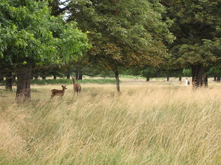 Wild deer, Richmond Park