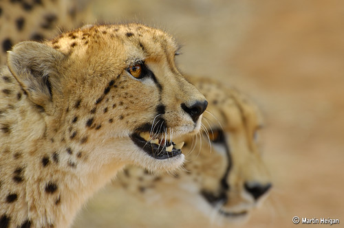 Cheetah (Acinonyx jubatus) by Martin_Heigan