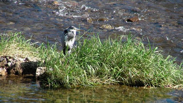 Bird on River Taff