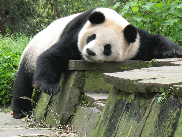 Photo:Draped panda By:Jay Collier