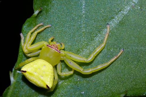 Thomisus labefactus 三角蟹蛛