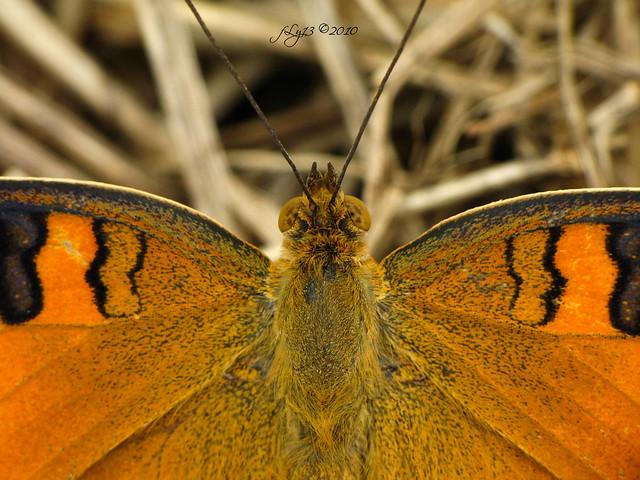 orange butterfly macro 3D