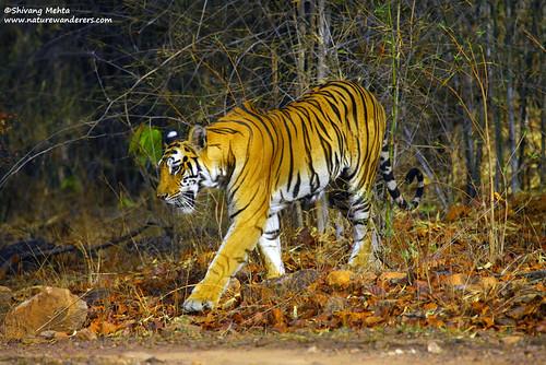 Tiger in morning light