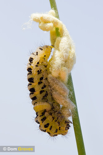 Burnet caterpillar with cocoons