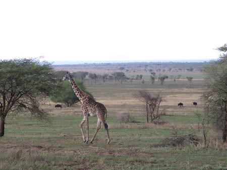 【アフリカ】2009/11セレンゲティトレイル5