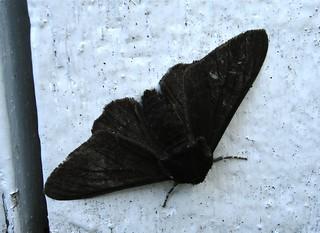 peppered moth f.carbonaria, warren cottage, 20050802