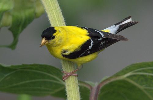 American Goldfinch (carduelis tristis) - Chardonneret Jaune