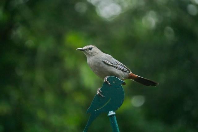 Blinking Gray Catbird