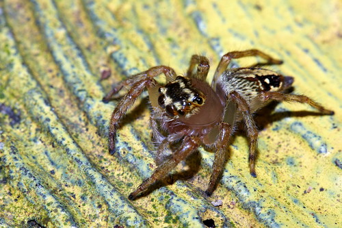 Evarcha crassipes 粗腳條斑蠅虎