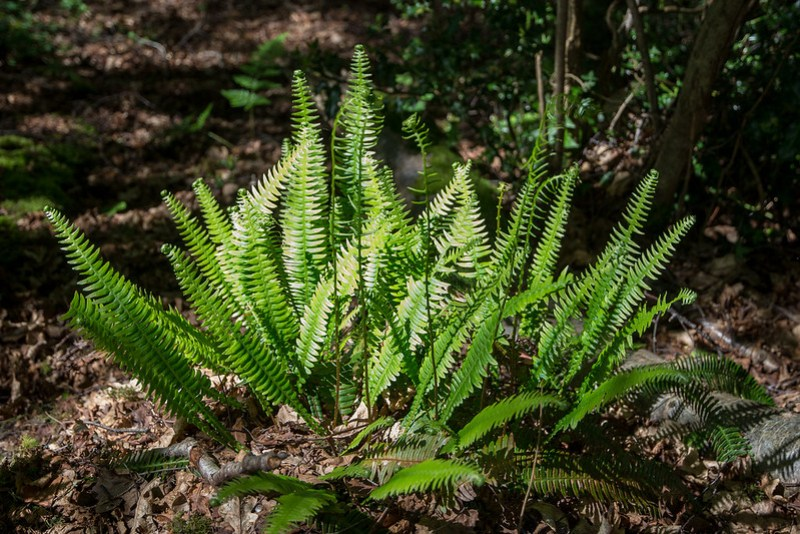Hard Fern - surprisingly common on the lime rich soils around East Creech.