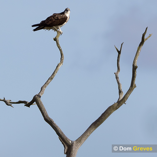 Osprey in dead tree