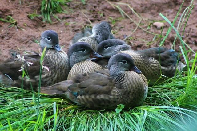 Mandarin duck huddle