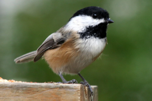 Black-capped Chickadee_3561