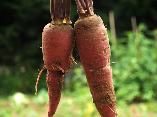 carrots pulled from the soil