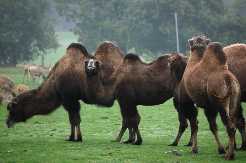 Camels at Whipsnade Zoo by Matt Taylor