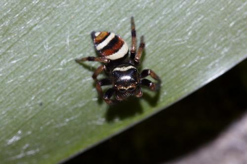 Ptocasius strupifer 毛垛兜跳蛛